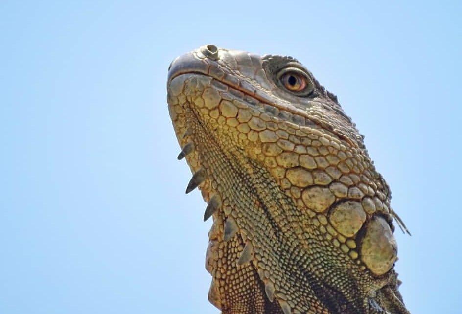 La iguana de la escuela